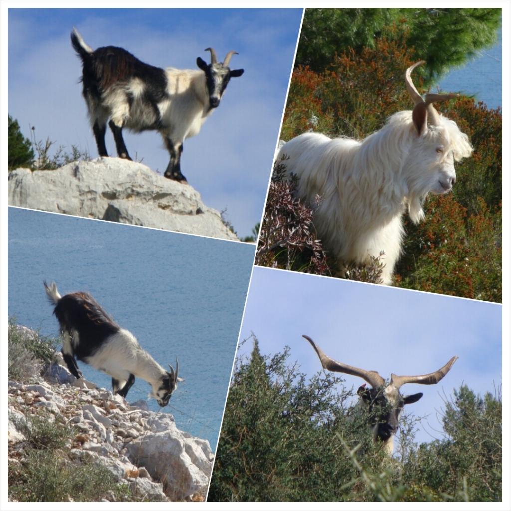 043.1 Goats